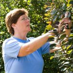 Carol Chernega pruning shrubs